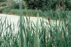 Reeds by lake, a spring day, in nature, a pond overgrown with grass, in the park on an ice evening. Green water with mud.