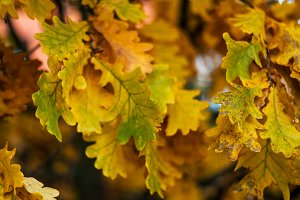 Autumn leaves from a tree duma. Autumn weather. Brown yellow leaves on a branch. Background nature in October.