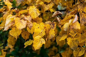 Beautiful green leaves background in autumn leaves of bushes. Overcast. Dirty yellow leaves on a branch. Background nature in the park by the curb.