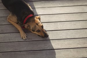 Dog relaxing on wooden plank outside house