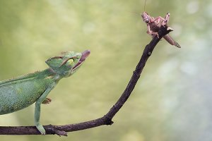 chameleon hunting an insect. Green background, wildlife