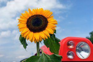 Sunflower and tractor headlights