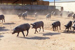 Iberian pigs