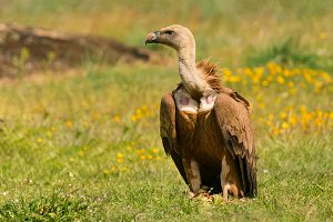 Amazing vulture