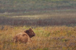 Scottish Highland red Bull in the meadow