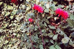 Red dahlias in the green garden
