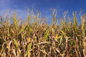 corn field plantation