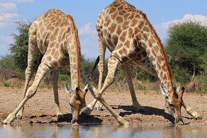 Giraffe - Splitting for Sips