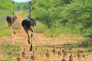 Ostrich - Running in the Family