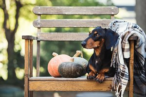 Dachshund, dog on a chair