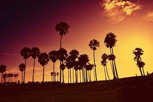 Palms trees at sunset.