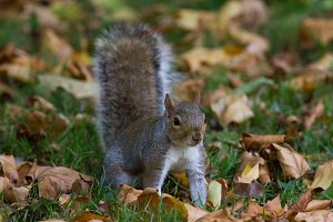 Grey squirrel in autumn park, telephoto