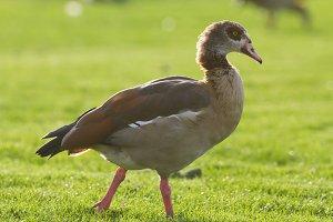 Wild of goose in park, portrait shot