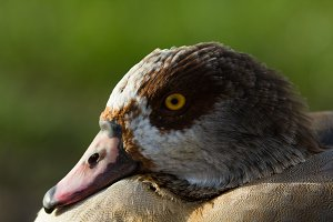 Face of the goose, portrait shot