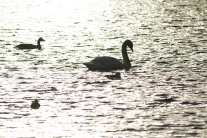 Silhouette of the Swan on pond