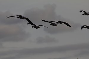 A flock of Geese flying in sky, silhouette