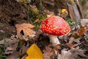 Red mushroom. Autumn forest