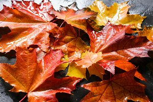 Fall background with colorful maple leaves