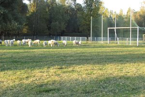 Sport sheeps