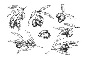 Isolated sketches of olive oil tree branches