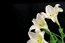 White lily flowers bouquet on black