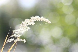 Boheka Wheat