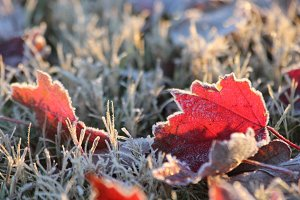 Frosted Fall Leaf