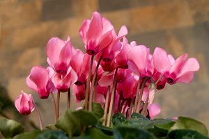 Pink cyclamen on pot