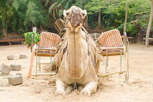 Camel ready for a ride.