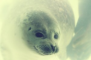 Seal underwater in close up
