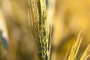 golden wheat close up