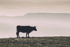 Cow in the pasture in the fog