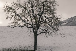 Lonely tree in a snowy field