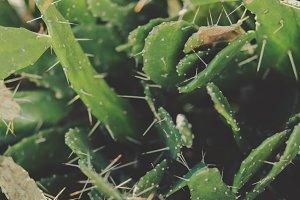 Thorny Cactus Closeup