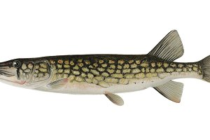 Pickerel Fish graphic (PNG)