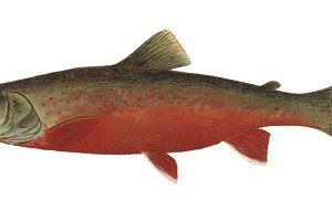 Trout Fish illustration (PNG)