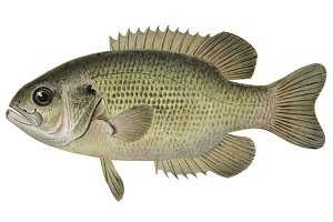 Rock Bass fish illustration (PNG)