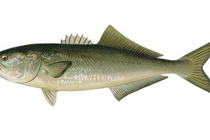 Bluefish fish illustration (PNG)