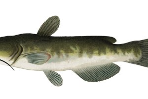 The Bullhead fish illustration (PNG)