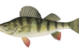 Barred Perch fish illustration (PNG)