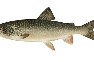 Lake Trout fish illustration (PNG)