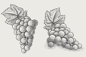 Grapes. Vector engravings.