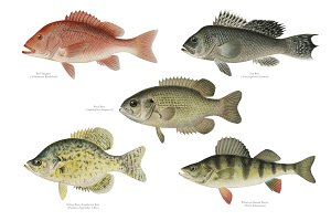 Set of fish illustrations (PNG)