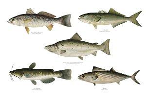 Set of fish illustrations (PNG)