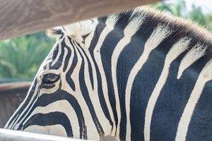 Details of zebra stripes.