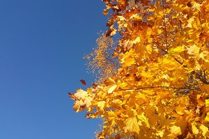Yellow autumn foliage in front of blue sky.