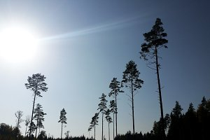Pine trees silhouettes against the sun