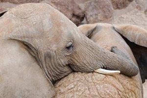 Couple of elephants, playing.