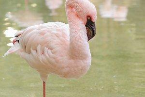 Flamingo stand on one leg.