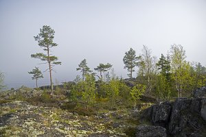 Forest on the shore of Lake Ladoga